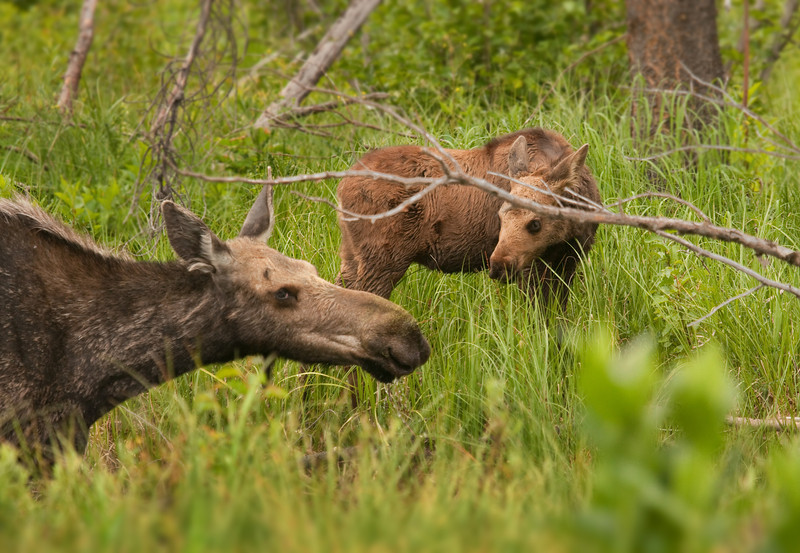 Calf and cow moose in Grand Tetons National Park