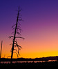 Yellowstone Lake - early dawn silhouette of craggy tree. Cropped detail from the previous panoramic - early morning sky in this pre-dawn view of Yellowstone Lake taken from a ridge about the West Thumb. The dead tree is a lodgepole pine, which is the dominate species in this area.