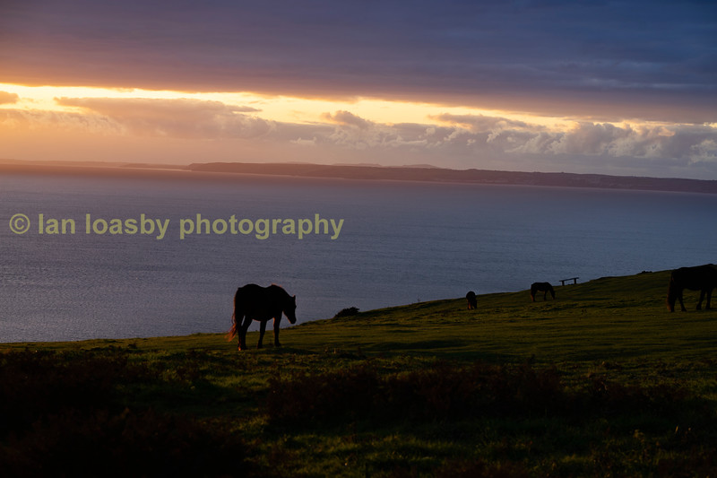 Horses graze the cliff tops at Rame Head on a october evening