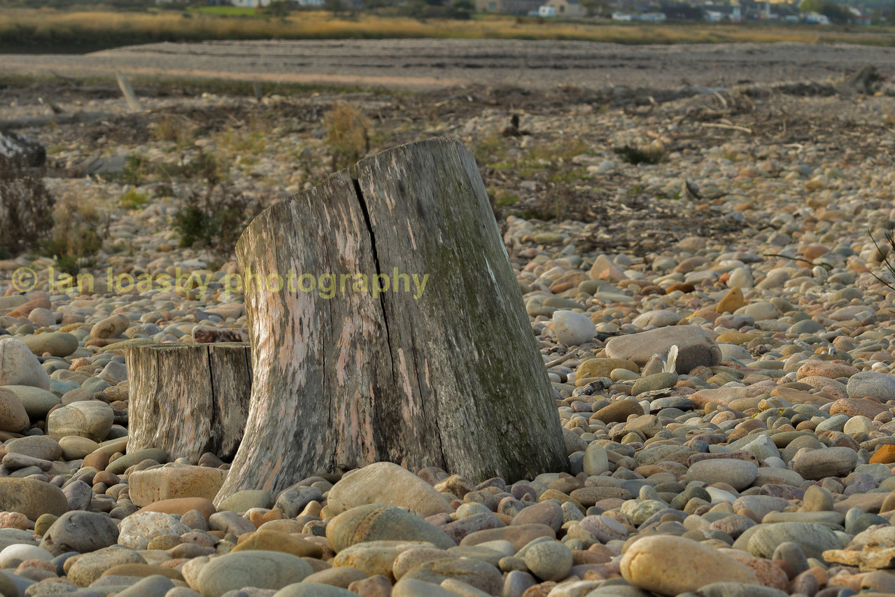 A dead tree trunk on the pebble beach at the mouth of the river Spey on the north Aberdeenshire