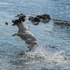 A springer spaniel chasing a ball at lulworth cove