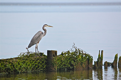 Blue Heron. Port Republic, MD.