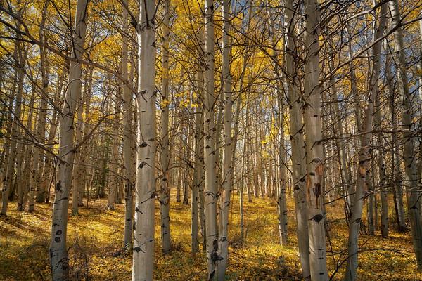 Golden Forest || Breckenridge