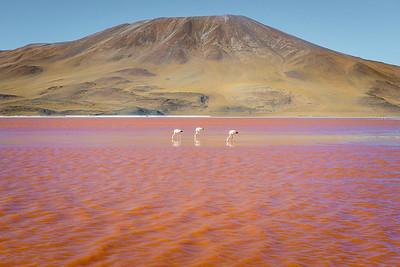 Flamingoes feed in Laguna Colorada, Bolivia