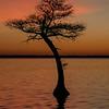 Single Cypress Tree at Sunrise