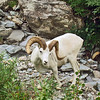 Dall Ram Sheep, Denali Park, AK