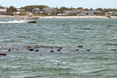 Gray Seals, Cape Cod, MA