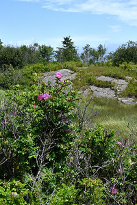 Rugosa Roses (Wrinkled Roses)- Boot Cove Road, Lubec, ME