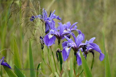 Wild Irises, Cutler Harbor, ME
