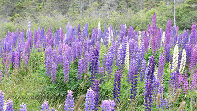 Lupine, Boot Cove Road, Lubec, ME