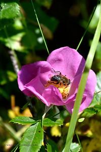 Rugosa Rose (Wrinkled Rose)- Boot Cove Road, Lubec, ME