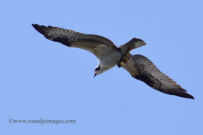 Osprey with Fish, Orlando, Florida