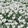 Ottawa Tulip Festival, Ontario, Canada