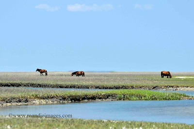 Shackleford Banks Wild Horses, Outer Banks, NC