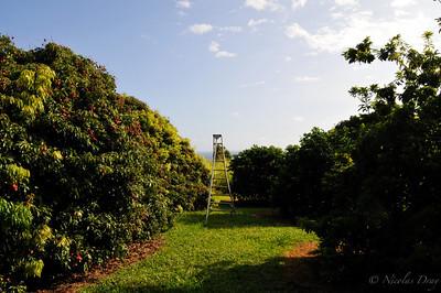 pleins de fruits dans le jardin de notre B&B. Ici des Lychee!