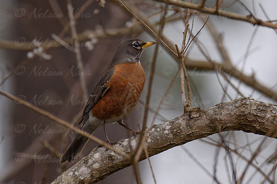 Robin on the Lookout
