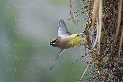 Cedar Waxwing Launch
