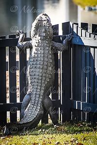 2016-12-24 South Carolina Alligator Climbs Fence 2-33-1