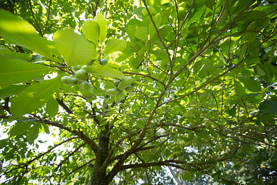 PawPaw Trees-02398