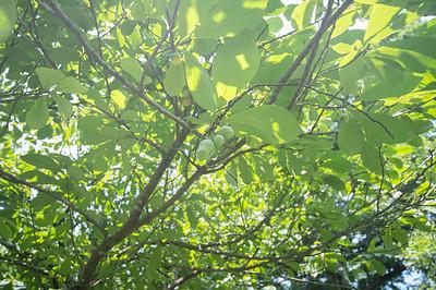 PawPaw Trees-02394