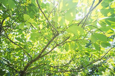 PawPaw Trees-02395