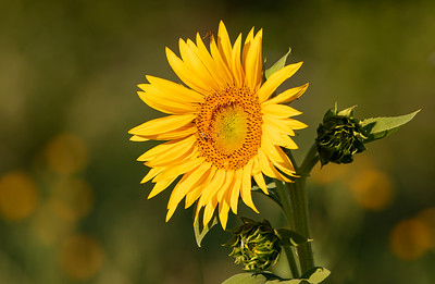 Wildflowers of Colorado-Common Sunflower