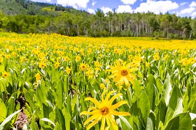 Wildflowers near Edwards, CO