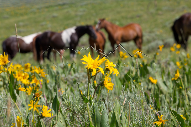 Flowers and Horses along the Trough Road, Kremmling, CO