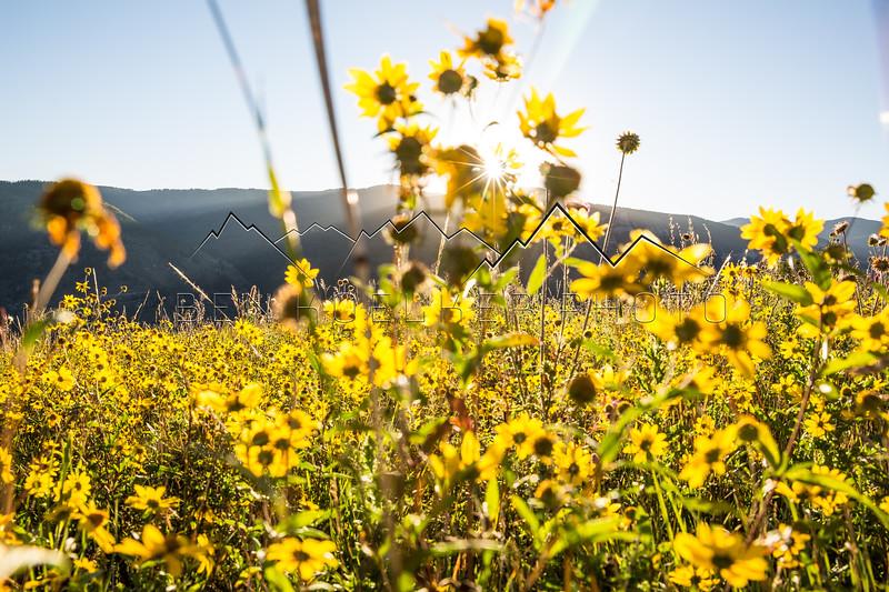 Flowers on Meadow Mountain, CO