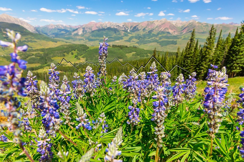 Wildflowers in Crested Butte, CO