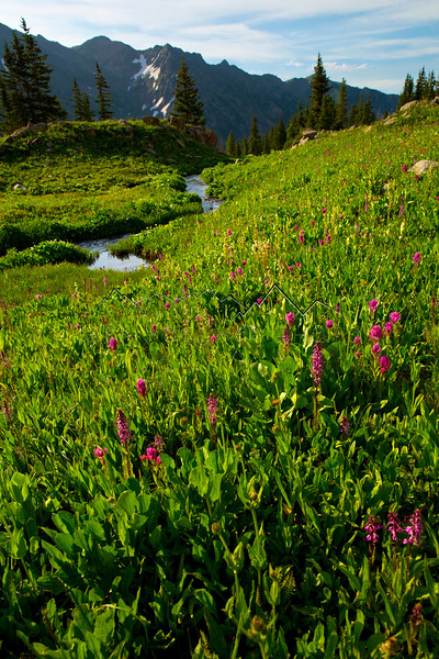 Flowers in a meadow along Pitkin Creek, high above Vail, CO