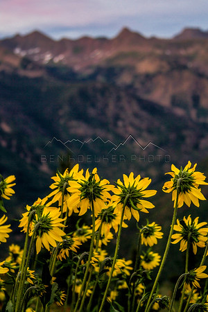 Wildflowers, Gore Range, CO
