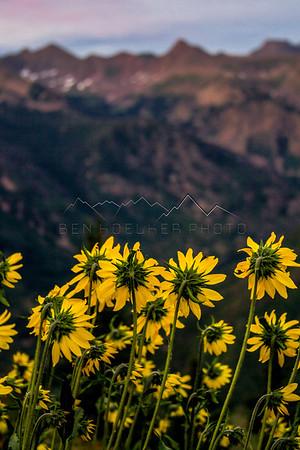 Wildflowers, Gore Range, CO