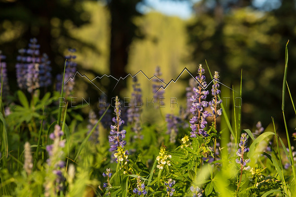 Wildflowers in the Sawatch Range, CO