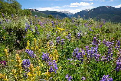 Wildflowers in the Northern Sawatch Range, CO