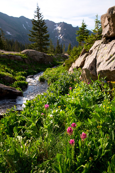 Flowers along Pitkin Creek, CO