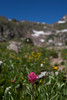 Flowers in the Gore Range, CO
