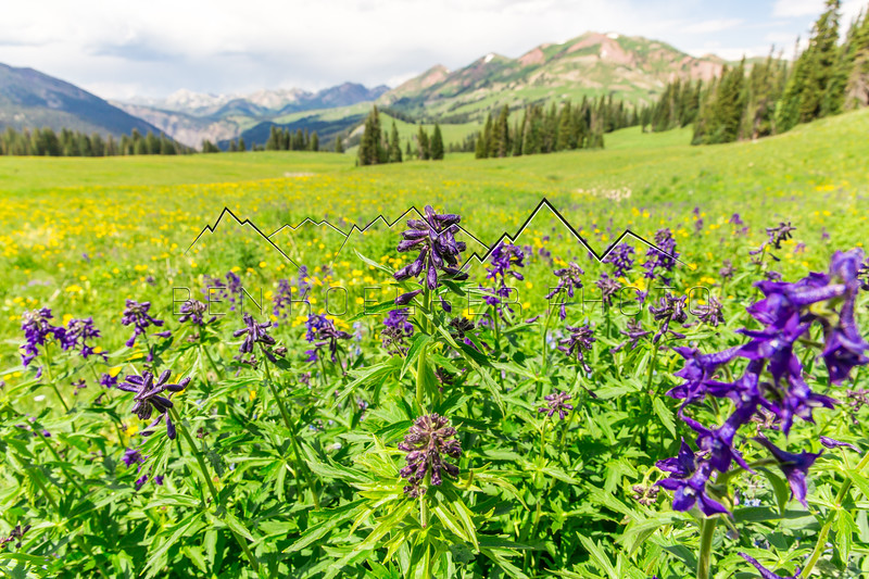 Wildflowers near Paradise Divide, CO
