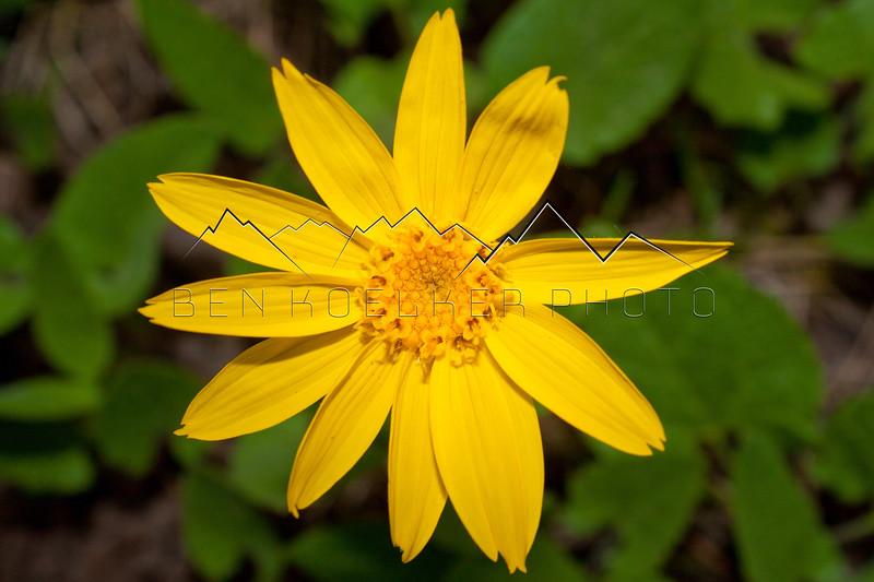 Flower near East Lake Creek, CO