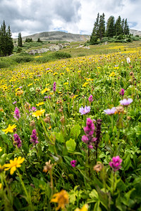 Wildflowers along the Colorado Trail