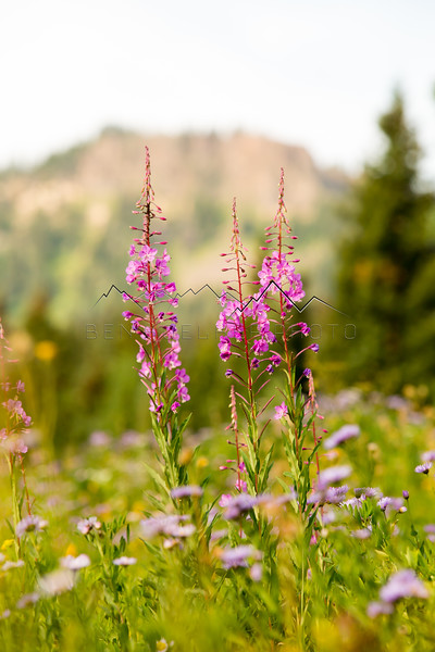 Wildflowers in the Flattops Range, CO