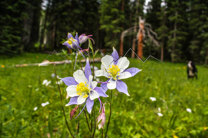 Columbine in the Northern Sawatch Range, CO