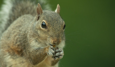 Eastern Gray Squirrel Close Up