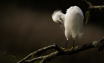 Egret In The Moment (810)