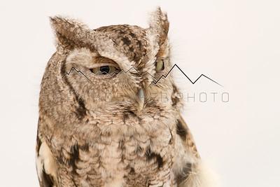 Screech Owl in Beaver Creek, CO