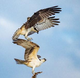 Osprey At Play (829)