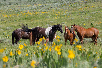 Wild Horses along the Trough Road, Kremmling, CO