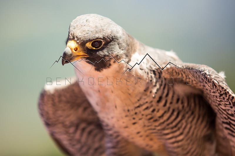 Peregrine Falcon in the Gore Range, CO