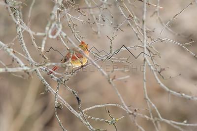 Cardinal in it's Habitat!