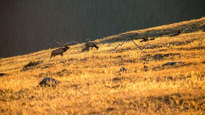 Bull Elk in Rocky Mountain National Park, CO
